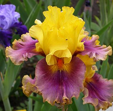 Living colors iris
